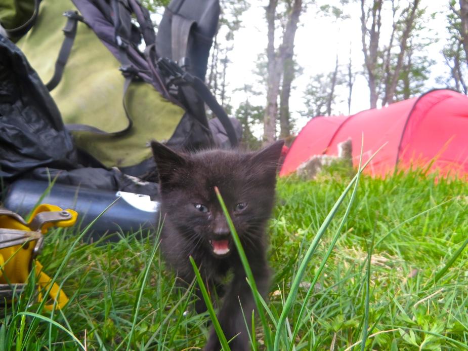 Gaucho Kitten