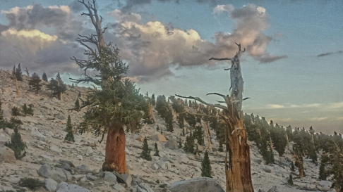 Old Growth trees of the Sierra. Nearby, some of the oldest trees in the world, the Bristle Cone Pine, can be found.