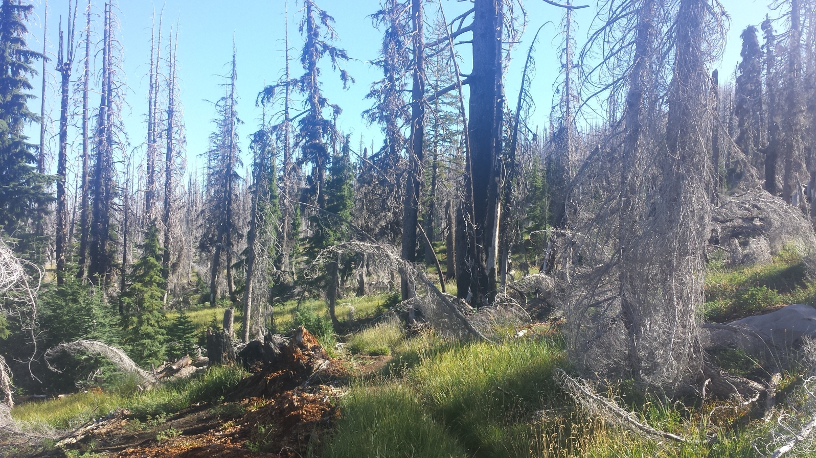 Skeletal Trees before Crater Lake created by a past fire.