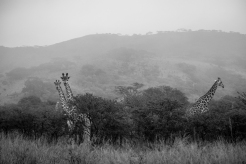 A journey of Giraffes within the early morning mists.