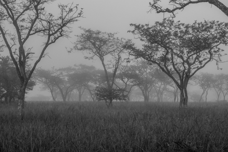 Within the dips and nooks of the land, early morning mists gather around the famous acacia trees of the savannah