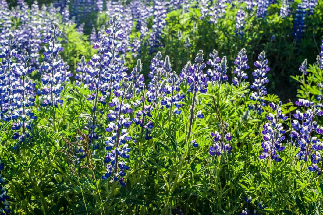 Alaskan Lupine is beautiful and looks natural to the landscape but is actual an invasive species.